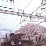 西向日駅前桜